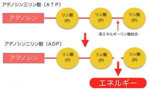 エネルギーを放出するADP